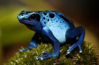 Dendrobates azureus, vive en el sur de Surinam, en la sabana de Sipaliwini y puede tambin ser vista a lo largo de las frontera...